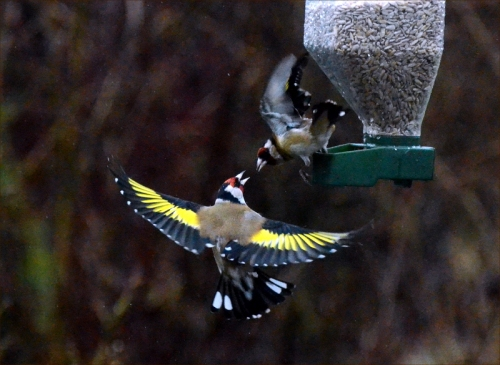 flying goldfinch conversation