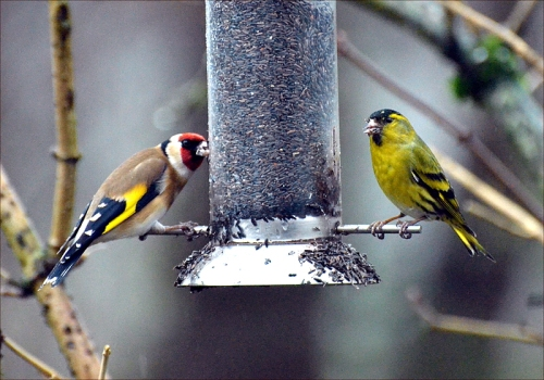 goldfinch siskin