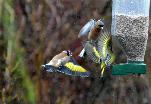 siskin goldfinch chaffinch flying