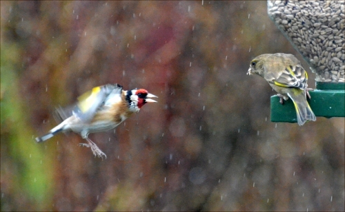 wet goldfinch flying