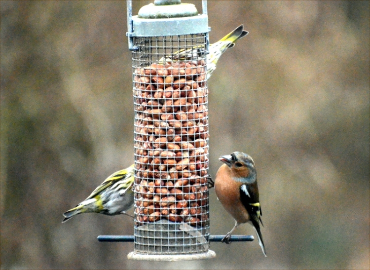 chaffinch and two siskins