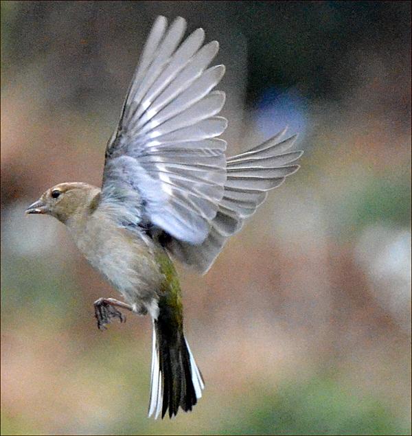 flying chaffinch female