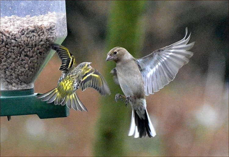 flying siskin and chaffinch