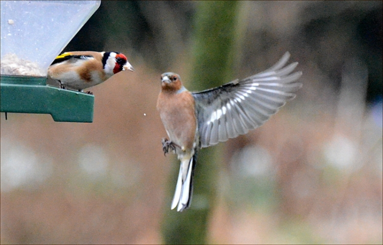 goldfinch and flying chaffinch