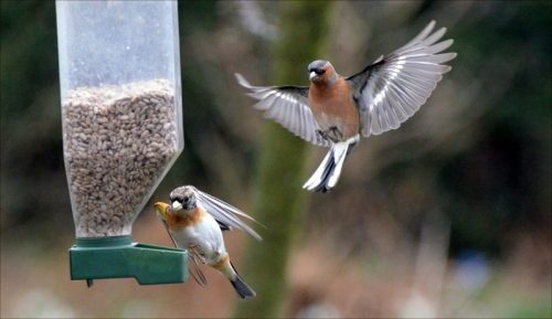 chaffinch brambling