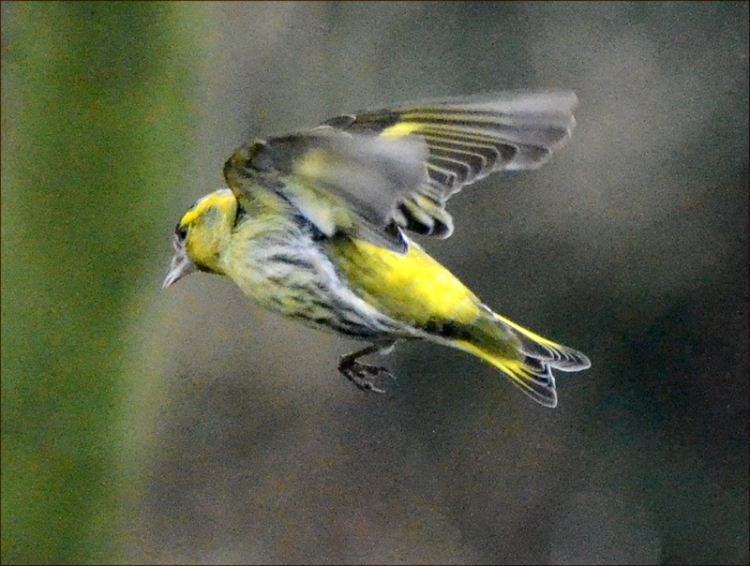 solo siskin flying