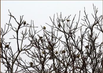 treeful of siskins