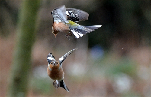 chaffinch dogfight