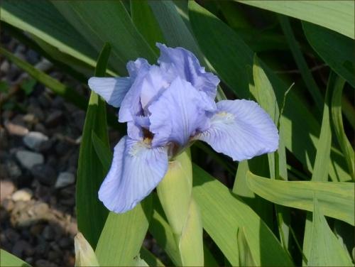 dwarf iris blue