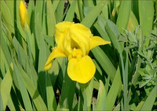 dwarf iris yellow