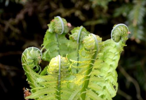 shuttlecock ferns