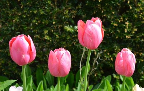 I'm a pink tulip