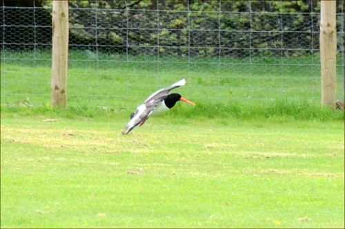 oyster catcher flying