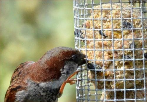 sparrow beak