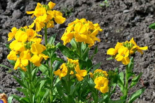 yellow wallflowers