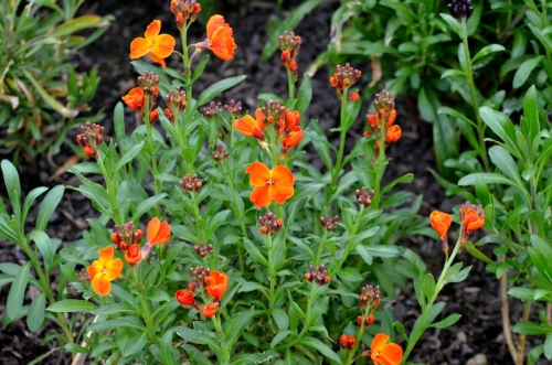 orange wallflower