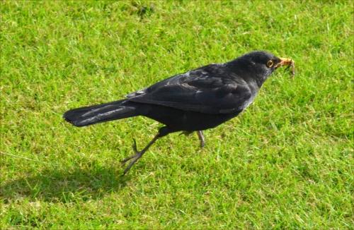sprinting blackbird