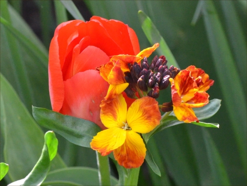 wallflower tulip