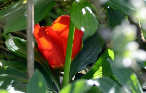 tulip blushing unseen