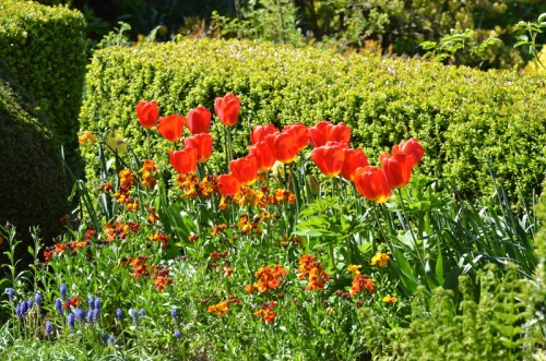 wallflowers and tulips