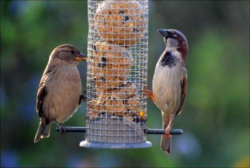 sparrow pair