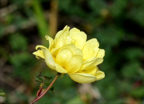 new yellow rose