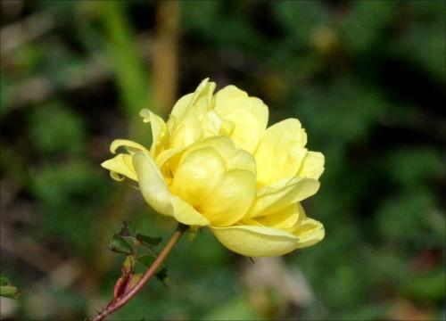 new yellow rose