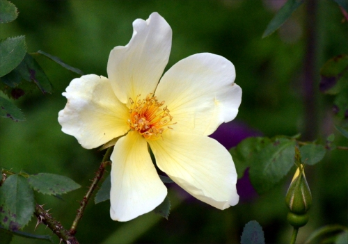 old yellow rose