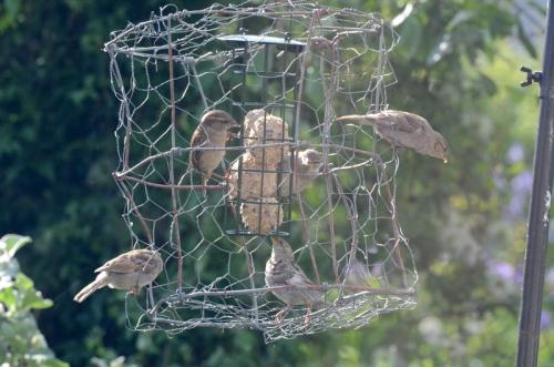 evening sparrows