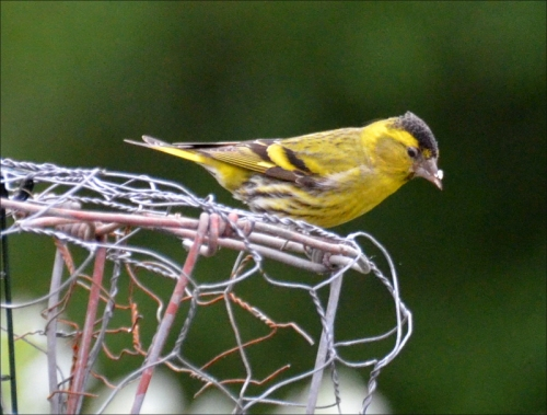 fortress with siskin