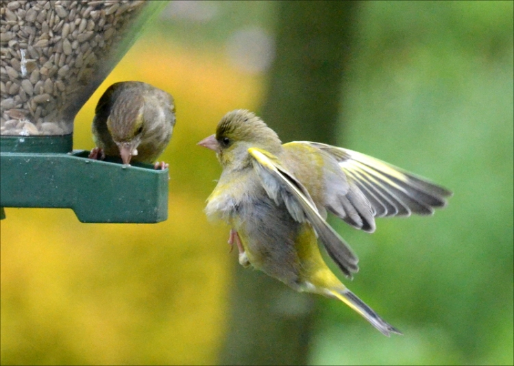 greenfinch into the wind