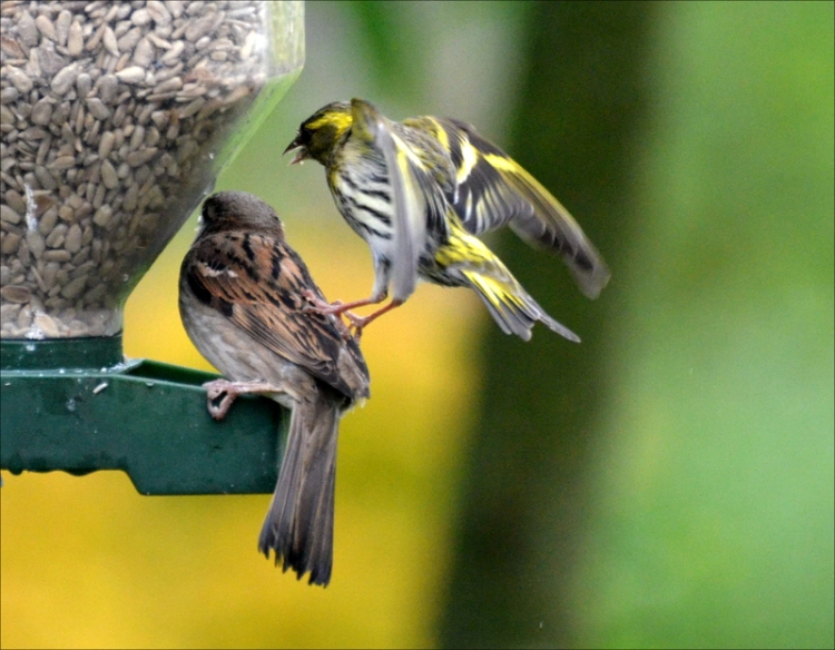 siskin putting the boot in