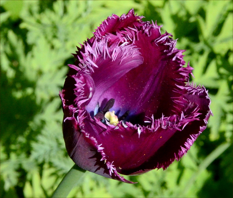 furry tulip