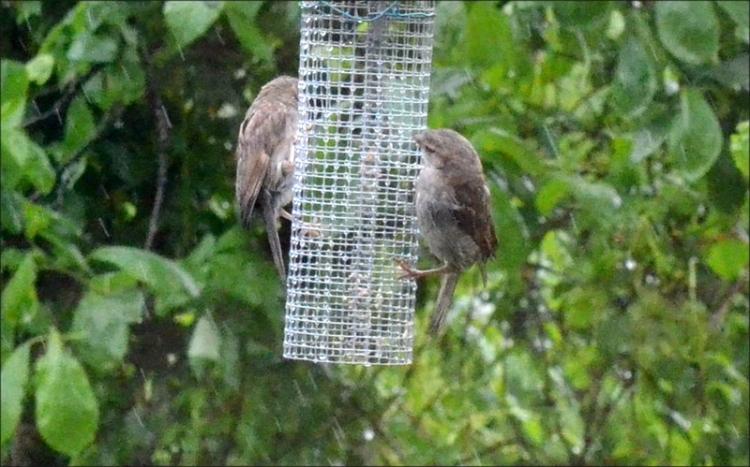 dim sparrows