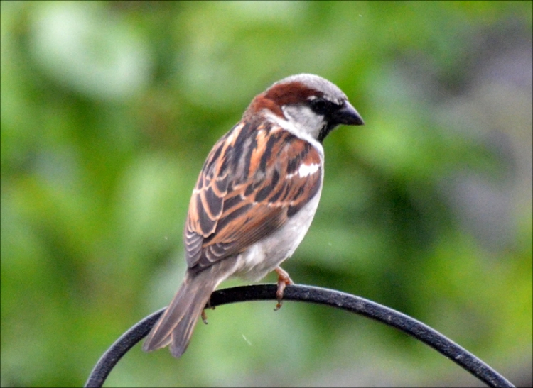 dry sparrow