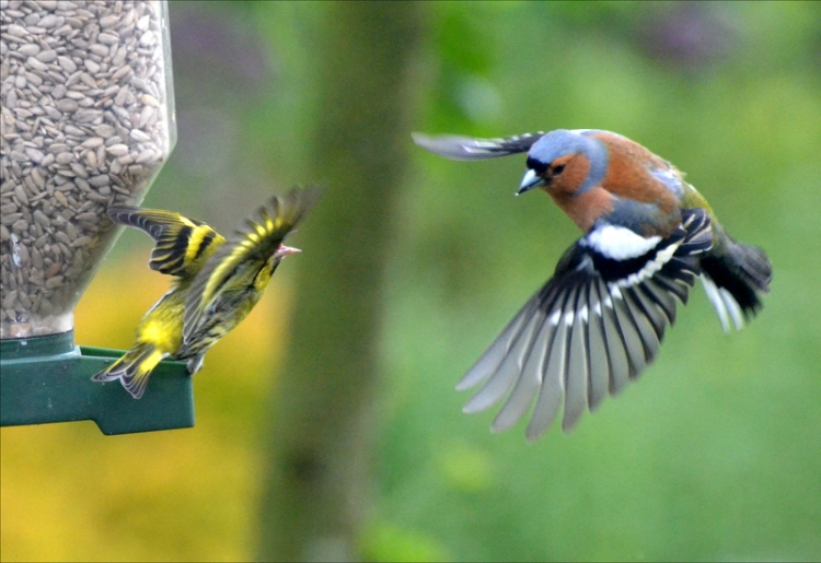 flying siskin flying chaffinch 1