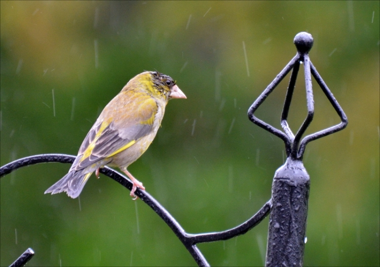wet greenfinch
