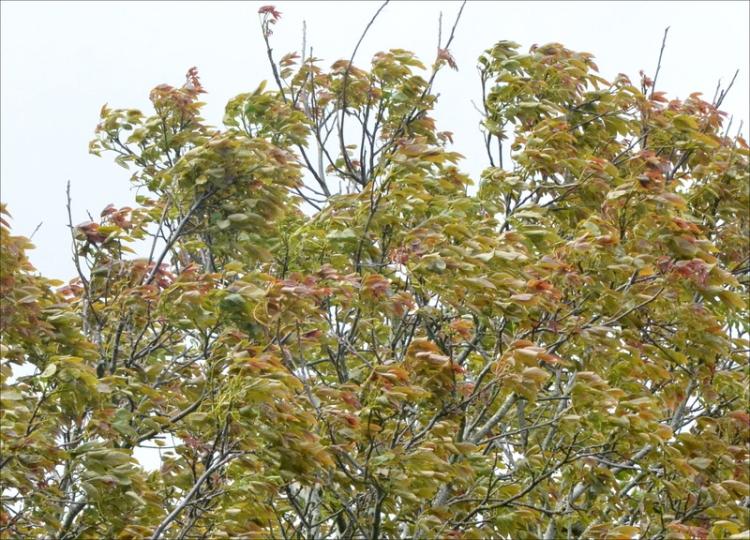 windy walnut