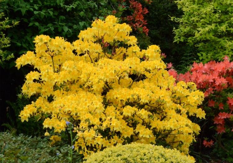 azalea yellow