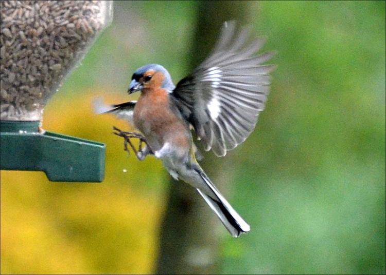 chaffinch flying