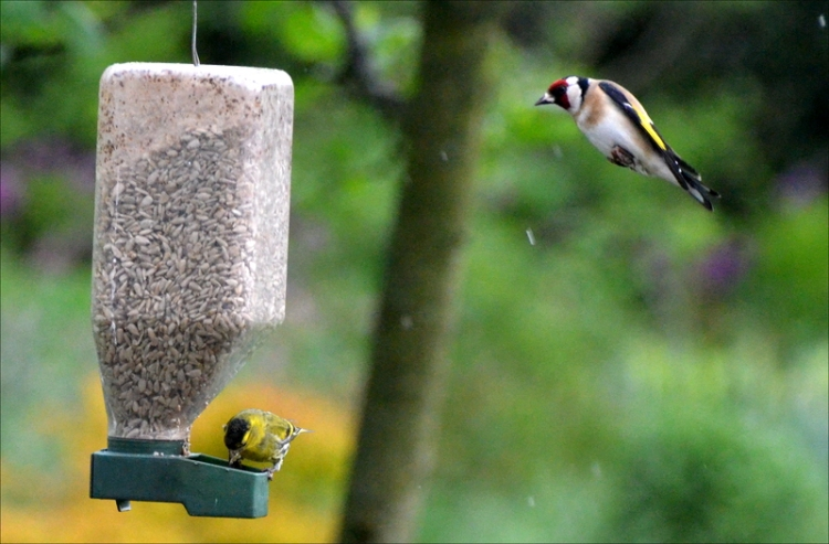 looming goldfinch