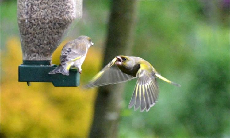 pleading greenfinch