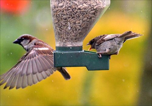 rude sparrow