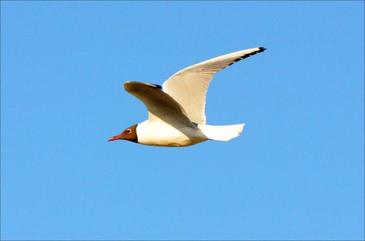 keswick gull
