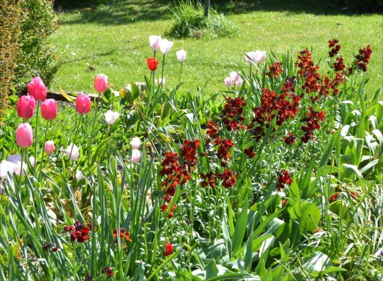 wallflowers and tulips