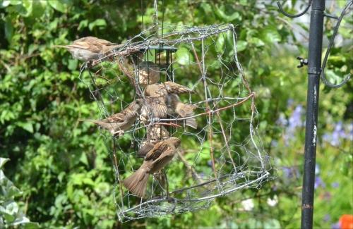 sparrow maelstrom