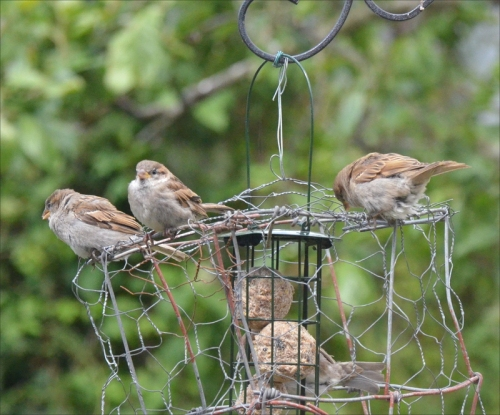 sparrows perching