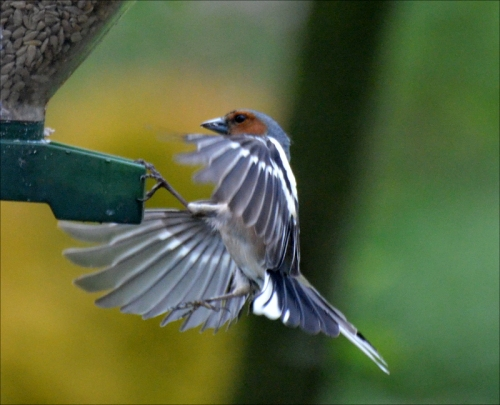 chaffinch toehold