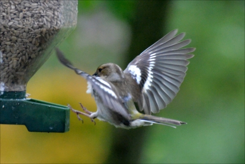 female chaffinch toehold