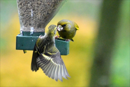 snarling greenfinch